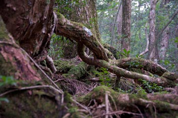 غابة اوكيغاهارا aok_bg001.jpg