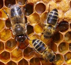 اين اختفى النحل نهاية البشرية حقا نهاية البشرية