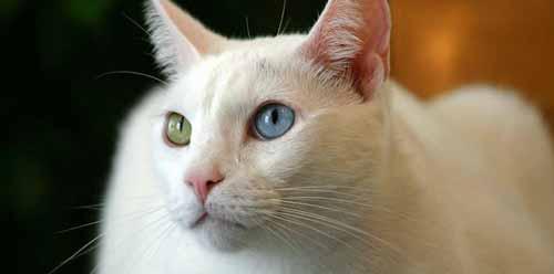 سلالات قطط بأسعار خيالية