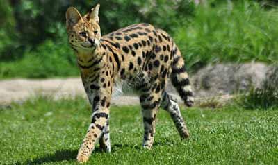 أشرس القطط في العالم