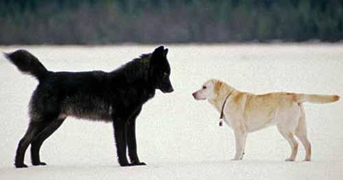 لماذا الكلب شديد الوفاء؟!