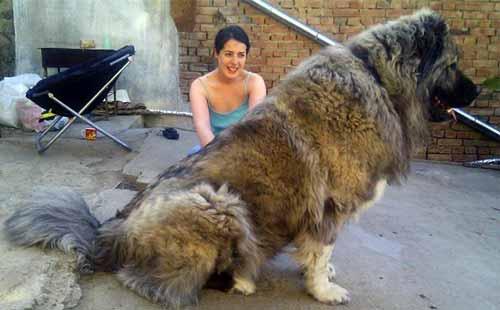 صدام الأوفياء: أشرس أنواع الكلاب في العالم