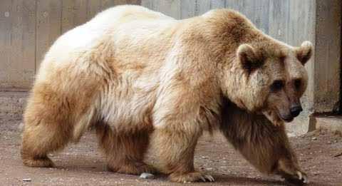 الدب الاشيب .. هجين بين الدبي القطبي والبني