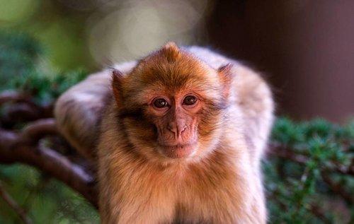 زعطوط القرد المدلل
